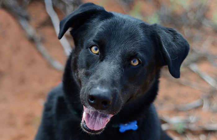 Athena the all-black medium-sized dog for adoption