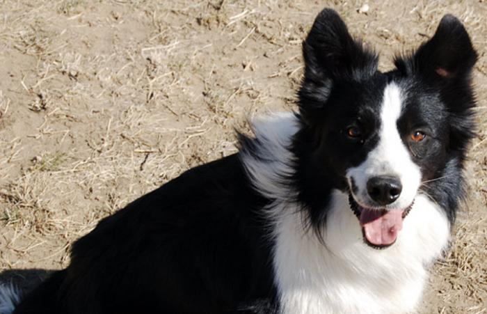 Mirk the border collie
