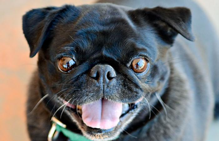 Smiling black pug