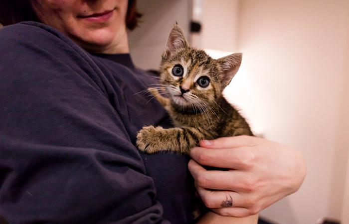 Person holding a brown tabby kitten