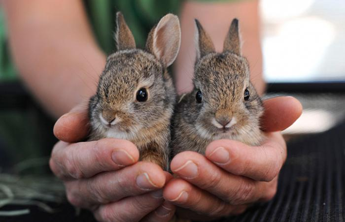 Person holding a pair of baby cottontails