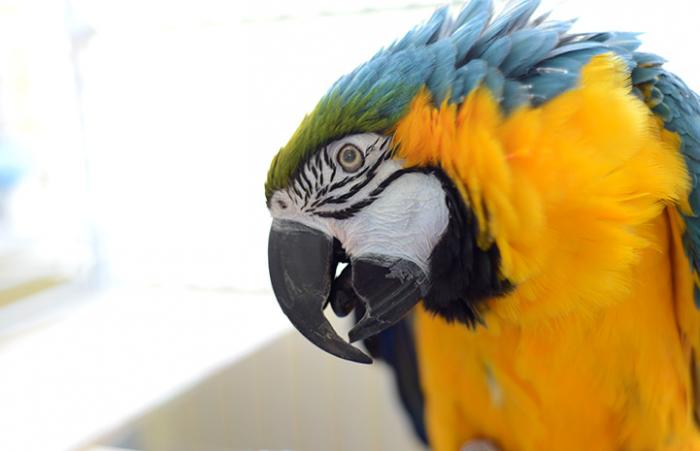 Crystal the blue and gold macaw