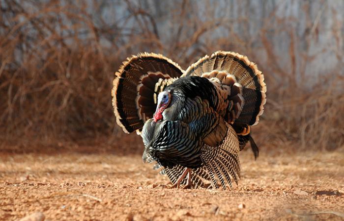 Tom turkeys at Angels Canyon