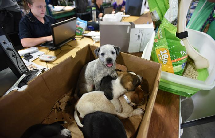A box of heeler puppies rescued following Hurricane Harvey and taken to the Rescue and Reunite Center
