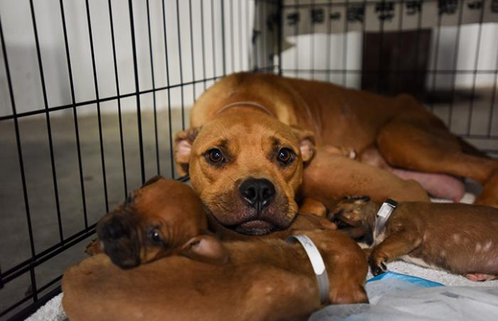The mom dog with her puppies at the Rescue and Reunite Center following Hurricane Harvey