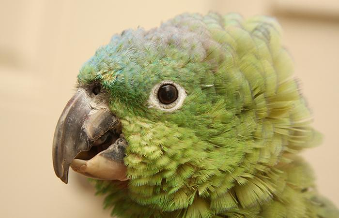Paco the parrot who will likely live to be around 80 years old