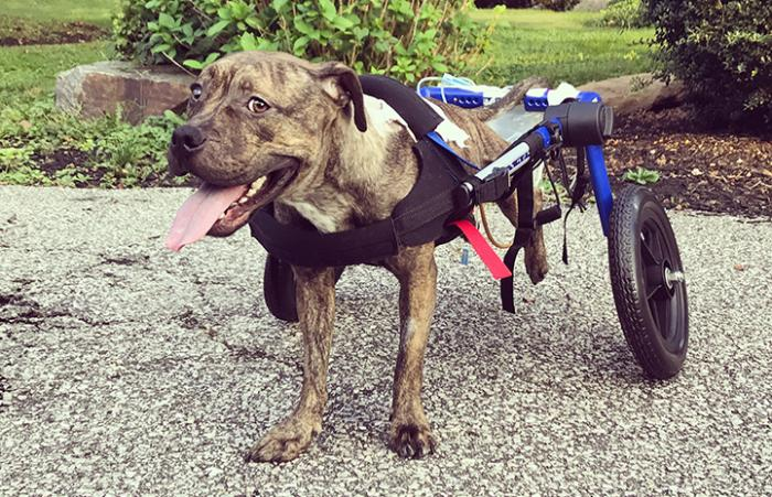 Angel is a Baltimore Animal Rescue and Care Shelter (BARCS) dog with spinal problem, who now has a wheelchair