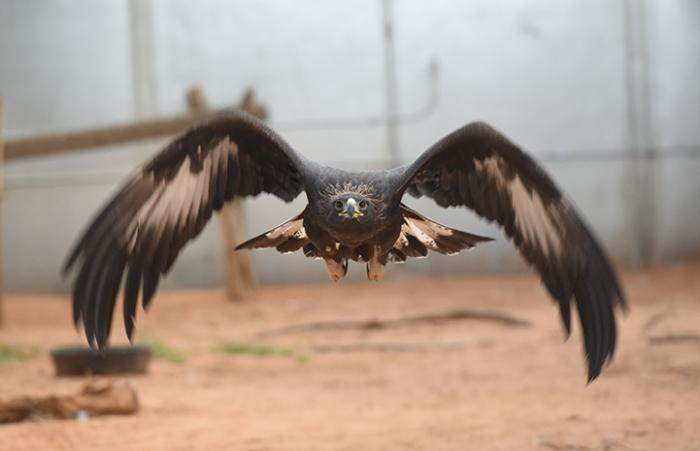 Golden eagles who needed help with flying skills and care from poisoning and West Nile disease receive rehabilitation