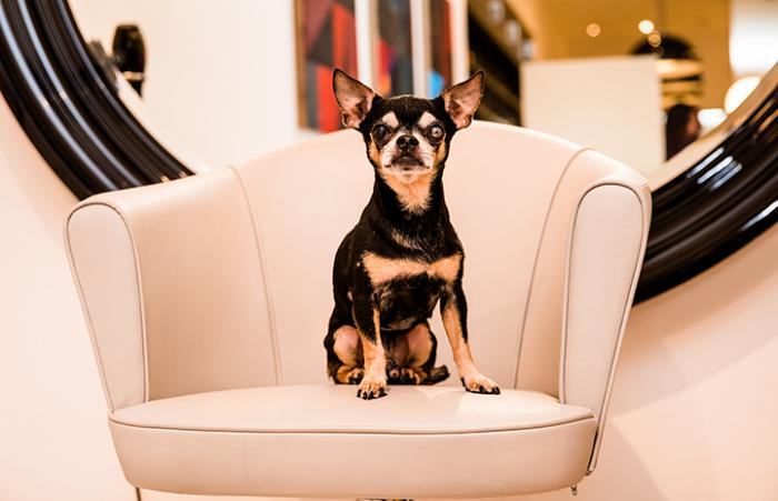 Senior Chihuahua with separation anxiety is adopted by a stylist at the Fabio Scalia Salon Soho in NYC