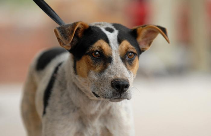 Heeler mix rescued dog