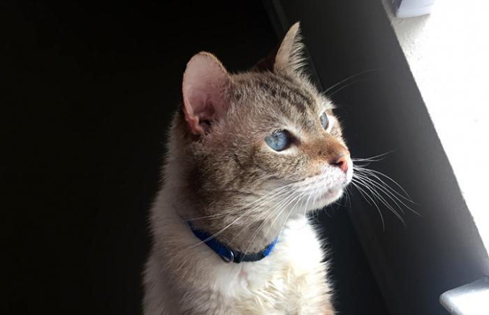 Hubba Bubba, a Siamese mix cat with gorgeous blue eyes looking out a window