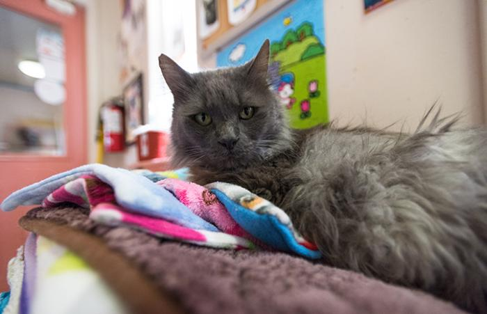 Gray medium hair cat lying on a stack of fleece blankets