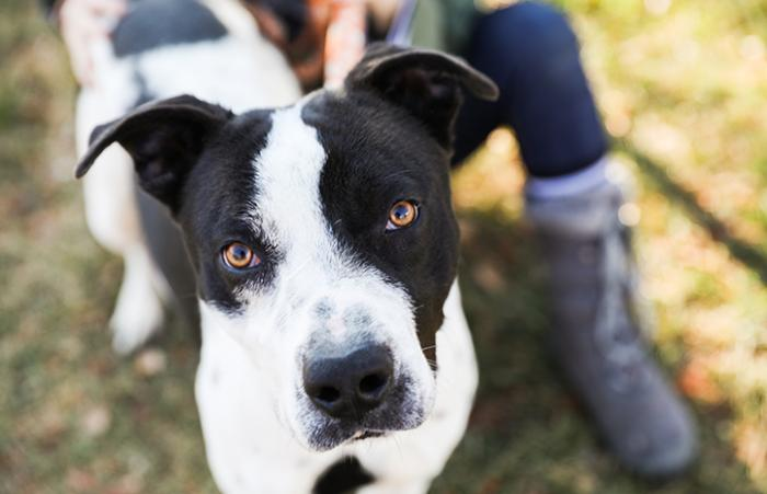 Mulligan, a black and white pit-bull-terrier-type dog, who was rescued after Hurricane Harvey
