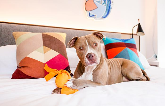 Micky, the adopted pit bull terrier type dog, on a bed at The James NoMad in New York City
