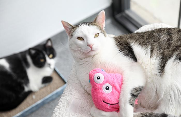 Dwight Schrute the white and brown tabby cat, hugging a pink toy with another black and white cat behind him