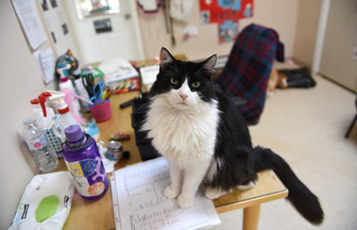 Zorro, the black and white tuxedo cat, sitting on a desk and looking at the camera