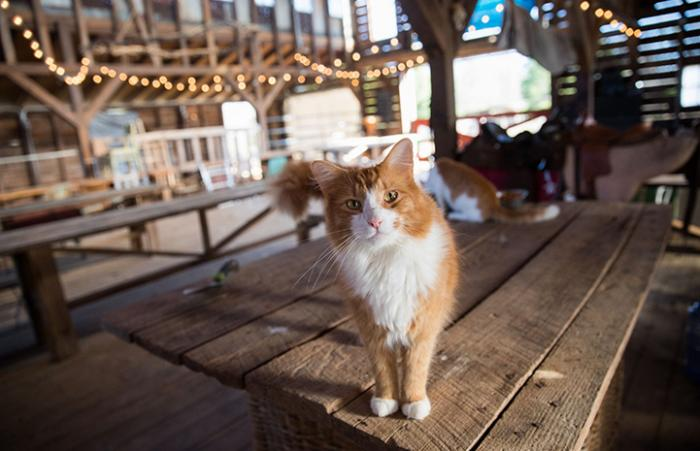 An orange and white medium hair community cat standing on a wooden table in a barn, with a few other cats behind him