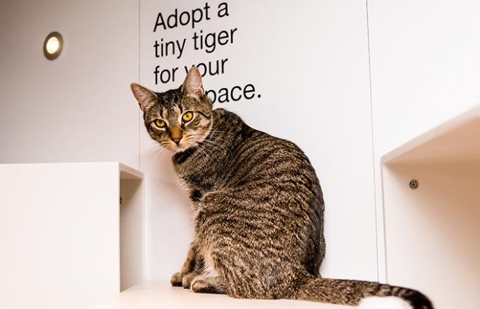 Archie, a brown tabby cat, sitting on a shelf in front of some writing that says Adopt a tiny tiger for your tiny space