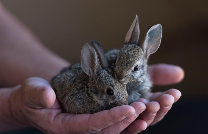 Two baby rabbits being held in a person's cupped hands