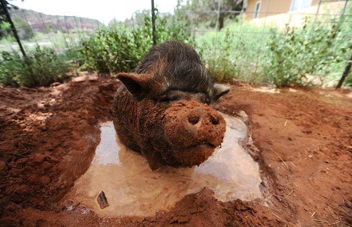 PJ the potbellied pig enjoying himself in a mud bath