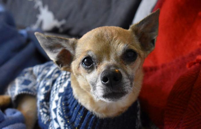 Senior Chihuahua Griff wearing a sweater on some blankets