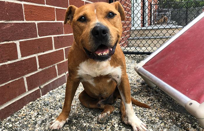 Seymour, a smiling brown and white pit bull terrier dog, sitting on some gravel in front of a brick wall