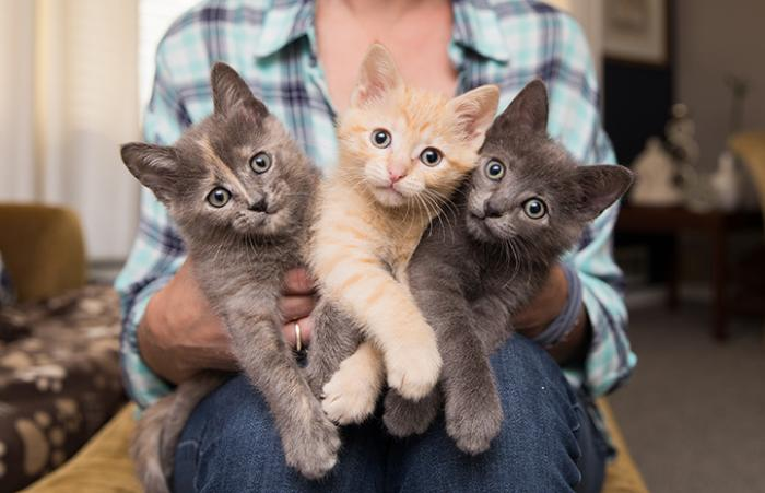 Person holding three 8-week-old kittens, one a tortoiseshell, one orange tabby and one gray