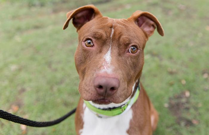 Harvey, a brown and white pit bull terrier type dog, rescued after Hurricane Harvey and adopted in Atlanta