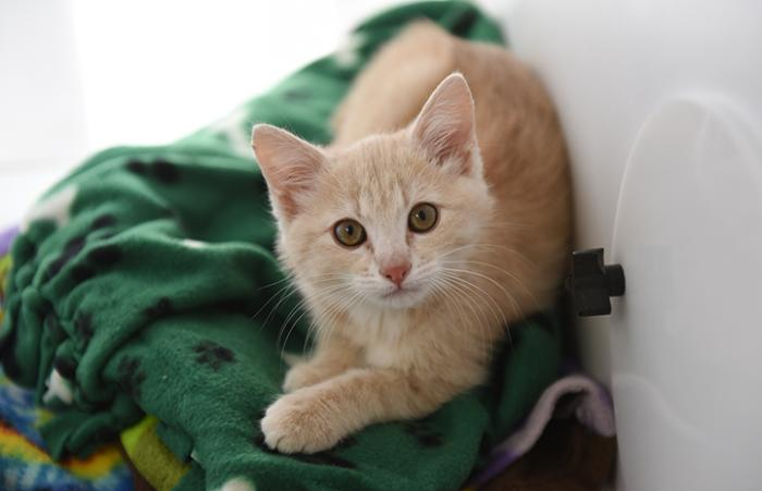 Overdrive the cream tabby kitten on a green blanket