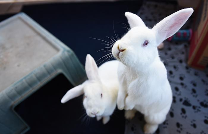 Liberty and Sweet Dee, two white rabbits with one up on her hind legs