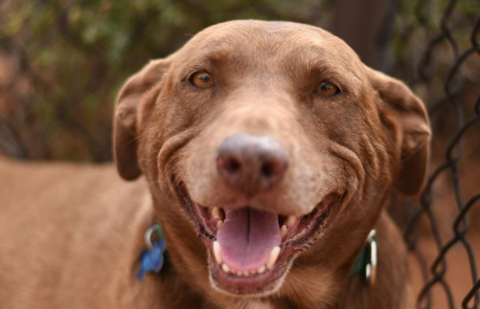 Rella, the senior chocolate Labrador retriever mix, smiling