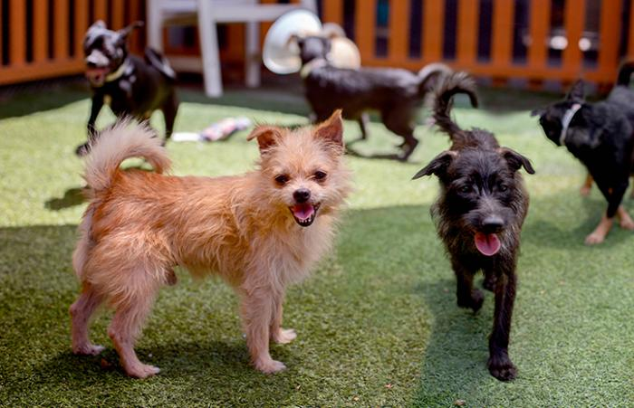 Two dogs, one tan and one black, rescued from a hoarding situation, with other little dogs behind them
