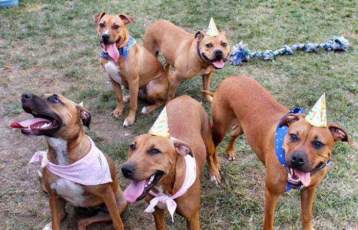 Abilene with her grown up puppies, some in hats, celebrating their birthdays one year later