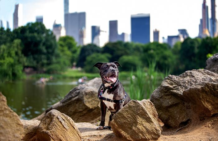 Queen Lilian, a black and white pit bull terrier-type dog, in front of the New York City skyline