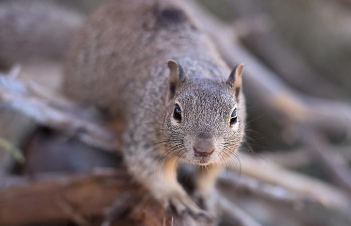 One of the rehabilitated baby rock squirrels