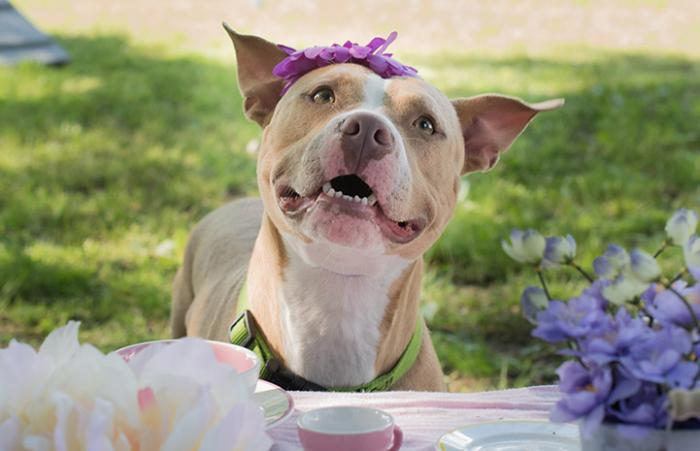 Dutchess the dog wearing a had and smiling at a tea party