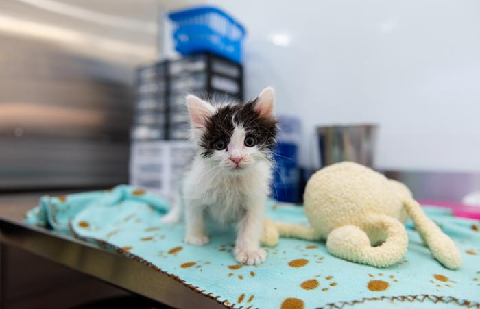 Oboe the black and white kitten at the nursery on a blanket next to a stuffed toy