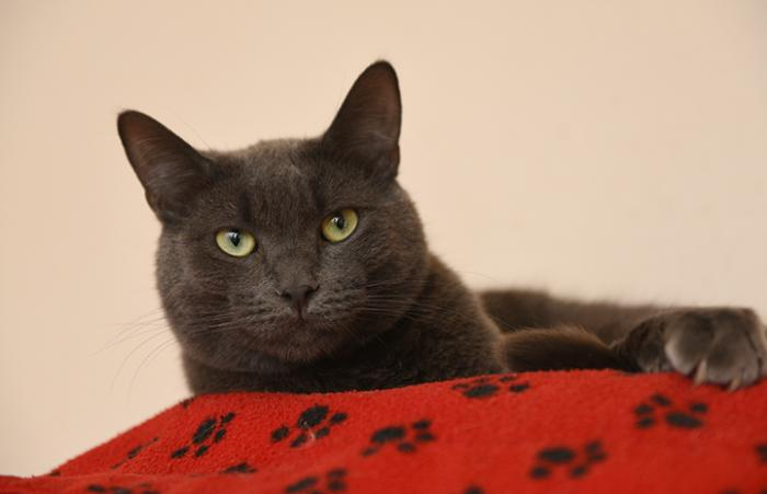 Ufro the gray cat, lying on a red blanket decorated with black paw prints