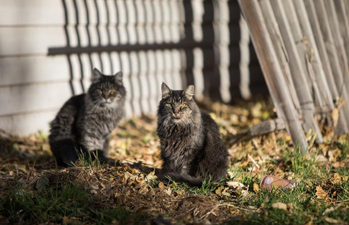 Pair of eartipped brown tabby medium hair community cats outside on the grass