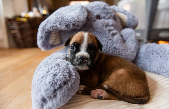 Taco, a brown and white puppy with a cleft palate, lying next to an elephant pillow