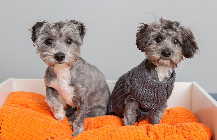 Two gray puppies, Lil Wayne and Lil Jon, sitting on an orange cushion