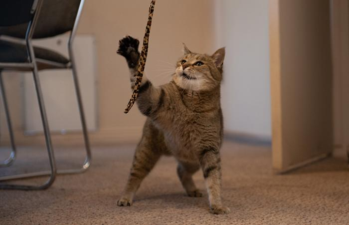 Fiona the brown tabby cat playing with a wand toy
