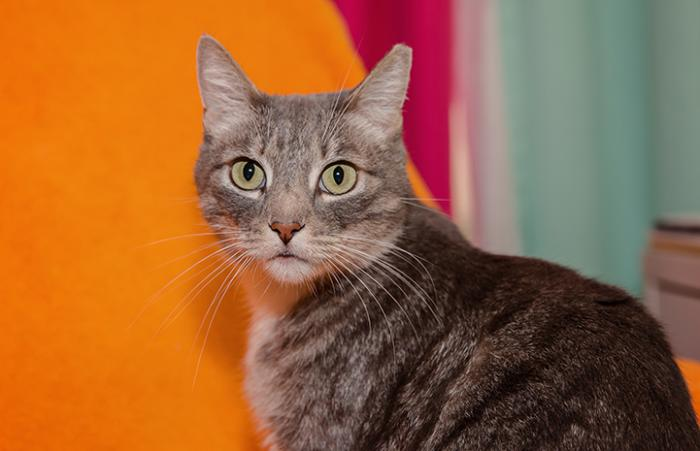 Gray tabby cat in front of a multicolored background