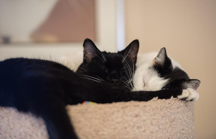 Two cats, Spatz and Maisie, snuggling together while sleeping