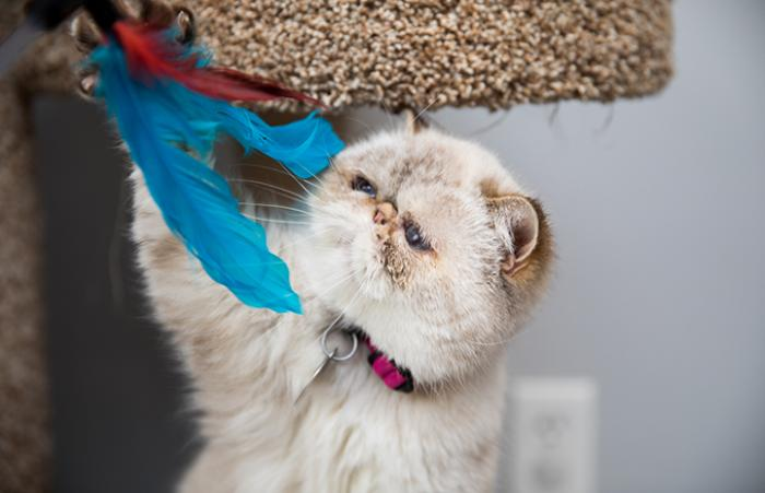 Persian cat under a cat tree playing with a blue feather toy