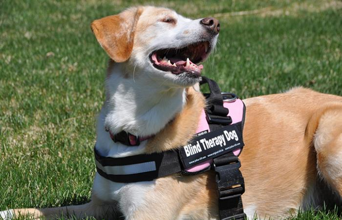 Faith wearing a blind therapy dog harness