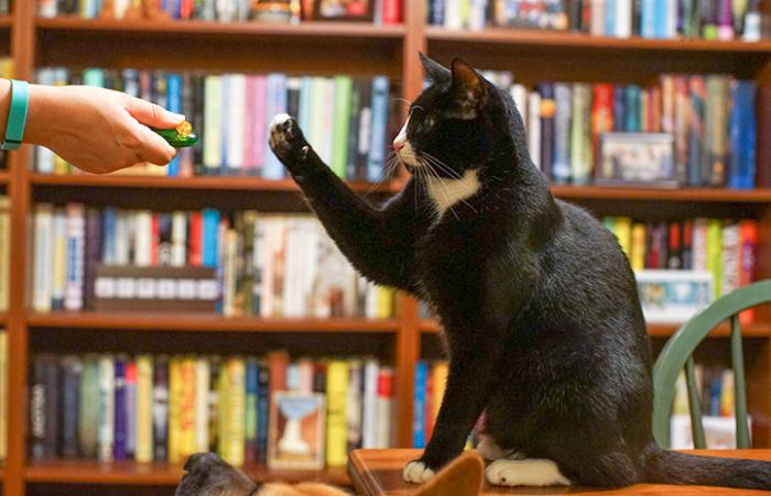 Person in a library using a clicker to train black and white cat a high-five trick