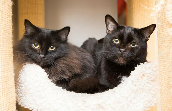 Jen and Stark, two black cats sleeping together in the same bed