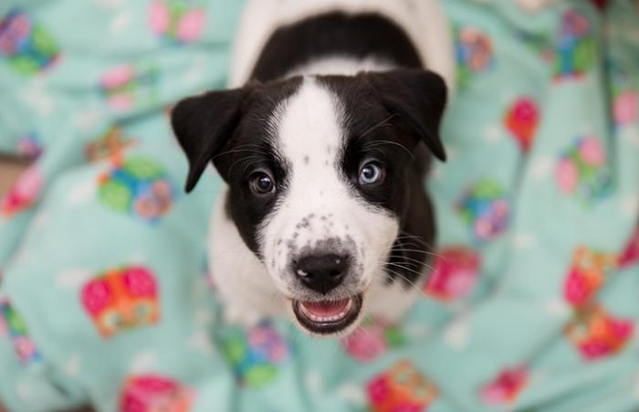 Black and white puppy on a blanket with two different colored eyes