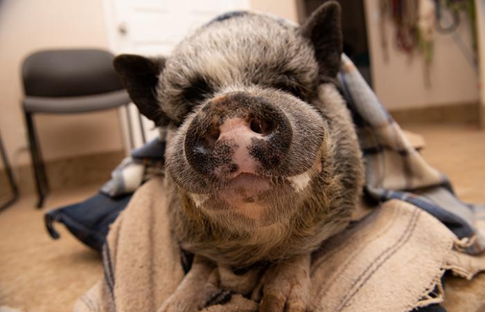 Batman the potbellied pig lying down on a blanket